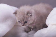 Η γάτα θέτει για τις φωτογραφίες Στοκ φωτογραφίες με δικαίωμα ελεύθερης χρήσης