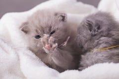 Η γάτα θέτει για τις φωτογραφίες Στοκ Φωτογραφία