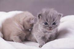 Η γάτα θέτει για τις φωτογραφίες Στοκ φωτογραφία με δικαίωμα ελεύθερης χρήσης