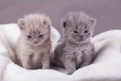 Η γάτα θέτει για τις φωτογραφίες Στοκ εικόνες με δικαίωμα ελεύθερης χρήσης