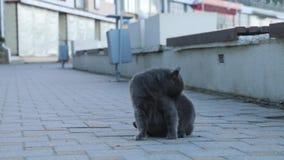 Η γάτα κάθεται σε έναν δρόμο γλείψιμο γατών ο ίδιος Πλυσίματα γατών απόθεμα βίντεο