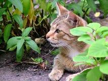 Η γάτα κάθεται στους θάμνους Στοκ Εικόνα