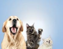 Η γάτα και το σκυλί μαζί, γατάκι μεταμφιέσεων neva, χρυσό retriever εξετάζουν το δικαίωμα στοκ εικόνα με δικαίωμα ελεύθερης χρήσης