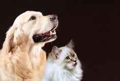 Η γάτα και το σκυλί, σιβηρικό γατάκι, χρυσό retriever εξετάζουν το δικαίωμα Στοκ φωτογραφίες με δικαίωμα ελεύθερης χρήσης