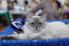 Η γάτα κατά τη διάρκεια της παγκόσμιας γάτας παρουσιάζει Στοκ Εικόνες