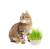 Η γάτα κατοικίδιων ζώων που τρώει τη φρέσκια χλόη Στοκ Φωτογραφία