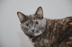 Η γάτα κοιτάζει επίμονα επάνω Στοκ Εικόνες