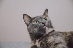 Η γάτα κοιτάζει επίμονα επάνω Στοκ φωτογραφία με δικαίωμα ελεύθερης χρήσης