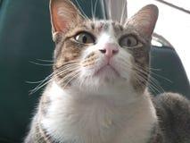 Η γάτα κοιτάζει επίμονα σε σαση στοκ εικόνες