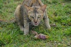 Η γάτα κοιτάζει επίμονα στη κάμερα στοκ εικόνες με δικαίωμα ελεύθερης χρήσης