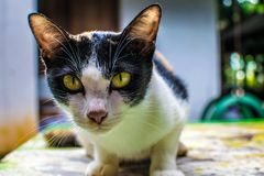Η γάτα κοιτάζει επίμονα στον αρουραίο Ή επιτήρηση στοκ φωτογραφία με δικαίωμα ελεύθερης χρήσης