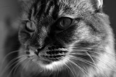 η γάτα κοιτάζει επίμονα στοκ εικόνες