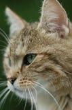 η γάτα κοιτάζει επίμονα Στοκ Φωτογραφίες
