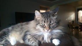 Η γάτα κοιτάζει επίμονα Στοκ εικόνα με δικαίωμα ελεύθερης χρήσης