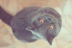 Η γάτα κοιτάζει πολύ στη κάμερα Στοκ εικόνα με δικαίωμα ελεύθερης χρήσης