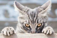 Η γάτα κοιτάζει στο μέτωποη στοκ φωτογραφία με δικαίωμα ελεύθερης χρήσης