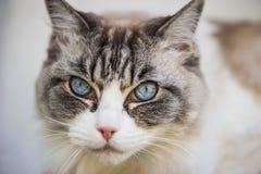 η γάτα κοιτάζει Στοκ Εικόνες