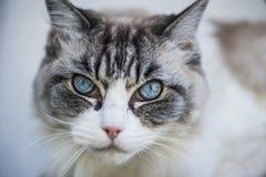 η γάτα κοιτάζει Στοκ Φωτογραφίες