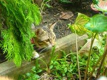 Η γάτα κρίνων τιγρών Στοκ Φωτογραφίες