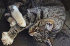 Η γάτα μαμών εναπόκειται σε ένα τυφλό γατάκι στοκ εικόνα