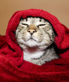 Η γάτα με τα πράσινα μάτια βρίσκεται κάτω από το κόκκινο κάλυμμα Στοκ εικόνα με δικαίωμα ελεύθερης χρήσης