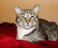 η γάτα με τα πράσινα μάτια βρίσκεται σε ένα κόκκινο κάλυμμα Στοκ φωτογραφία με δικαίωμα ελεύθερης χρήσης