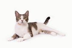 Η γάτα με τα χαριτωμένα μεγάλα μάτια βρίσκεται σε ένα άσπρο υπόβαθρο στοκ φωτογραφίες