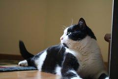 Η γάτα μου κάλεσε `` Peticel `` στη σύνοδο φωτογραφιών Στοκ Εικόνα