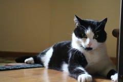 Η γάτα μου κάλεσε `` Peticel `` στη σύνοδο φωτογραφιών Στοκ Εικόνες
