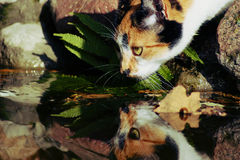 Η γάτα πίνει το νερό Στοκ εικόνες με δικαίωμα ελεύθερης χρήσης