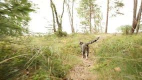 Η γάτα περπατά στην πράσινη χλόη στο δάσος απόθεμα βίντεο