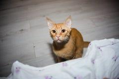 Η γάτα πιπεροριζών εξετάζει σας Στοκ εικόνα με δικαίωμα ελεύθερης χρήσης