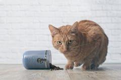 Η γάτα πιπεροριζών επίασε κλέβοντας τα τρόφιμα από ένα ανοικτό πιάτο τροφίμων Στοκ φωτογραφία με δικαίωμα ελεύθερης χρήσης