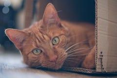 Η γάτα πιπεροριζών που βρίσκεται σε ένα κουτί από χαρτόνι και κοιτάζει στη κάμερα Στοκ εικόνα με δικαίωμα ελεύθερης χρήσης