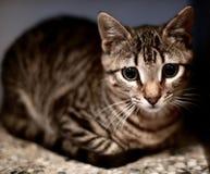 Η γάτα που εξετάζει σας στοκ φωτογραφία