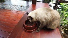 Η γάτα που τρώνε, η σιαμέζα καφετιά γάτα που περπατά μέσα και αρχίζουν τα τρόφιμά του από ένα κύπελλο στο πάτωμα του ξύλινου πατώ απόθεμα βίντεο