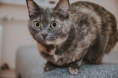 Η γάτα προετοιμάζεται να πηδήσει Στοκ φωτογραφίες με δικαίωμα ελεύθερης χρήσης