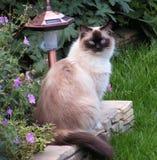 η γάτα σκάει ragdoll Στοκ Εικόνες