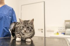 Η γάτα στην κτηνιατρική πρακτική εξετάζεται από τον κτηνίατρο στοκ φωτογραφία