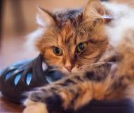 Η γάτα στηρίζεται και αγκαλιάζει μια παντόφλα Στοκ Φωτογραφίες