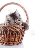 Η γάτα στο α τα παιχνίδια καλαθιών με μια ταινία. Στοκ φωτογραφία με δικαίωμα ελεύθερης χρήσης