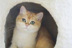 Η γάτα στο σπίτι Στοκ Φωτογραφία