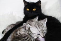 Η γάτα ταΐζει τα γατάκια Θηλασμός Στοκ Εικόνες