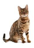 η γάτα της Βεγγάλης Στοκ Εικόνες