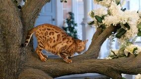 Η γάτα της Βεγγάλης κάθεται στο δέντρο απόθεμα βίντεο