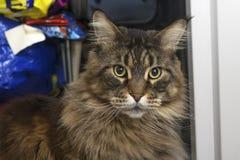 Η γάτα του Μαίην Coon εξετάζει τη κάμερα Στοκ Φωτογραφίες