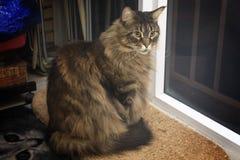 Η γάτα του Μαίην Coon του καφετιού χρώματος κάθεται από το παράθυρο Στοκ Φωτογραφίες