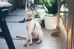 Η γάτα του Devon Rex περπατά στον κήπο σε ένα λουρί Στοκ εικόνα με δικαίωμα ελεύθερης χρήσης
