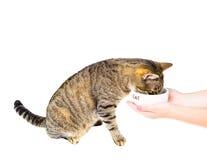 Η γάτα τρώει από ένα κύπελλο Στοκ εικόνες με δικαίωμα ελεύθερης χρήσης