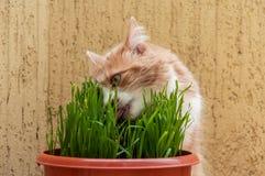 Η γάτα τρώει μια χλόη Στοκ Φωτογραφία
